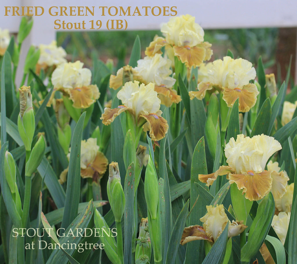 Iris Fried Green Tomatoes