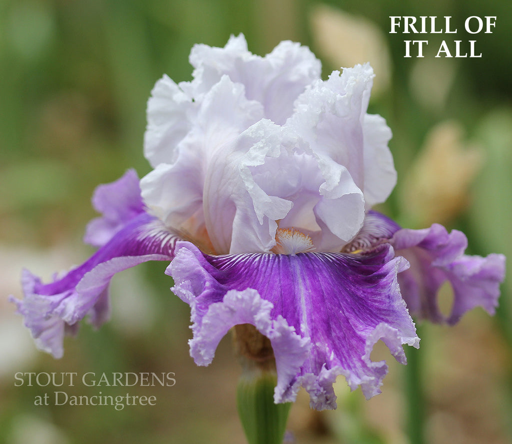 Iris FRILL OF IT ALL
