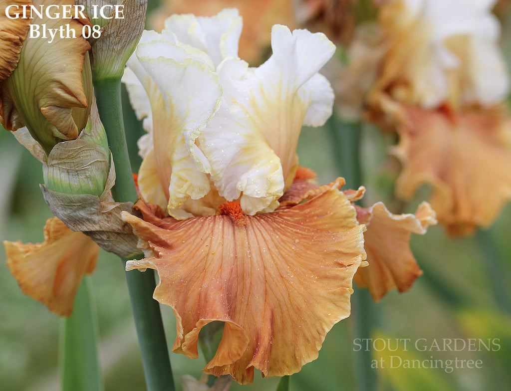 Iris GINGER ICE