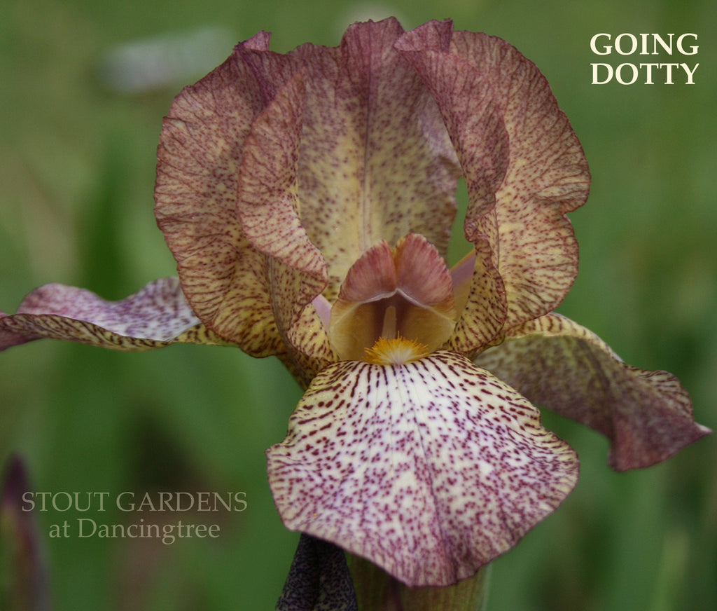 Iris GOING DOTTY
