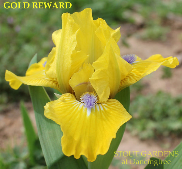 Iris Gold Reward