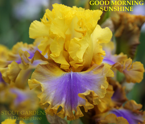 Iris GOOD MORNING SUNSHINE