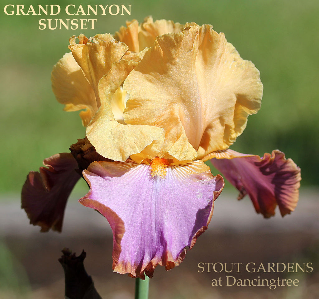 Iris Grand Canyon Sunset