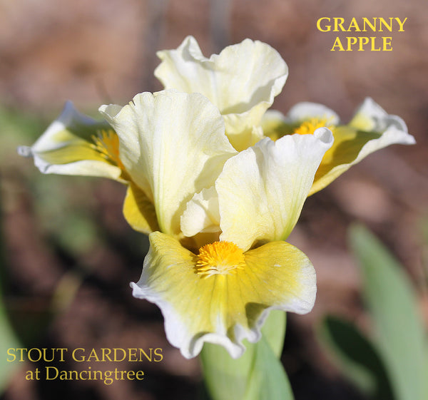 Iris Granny Apple