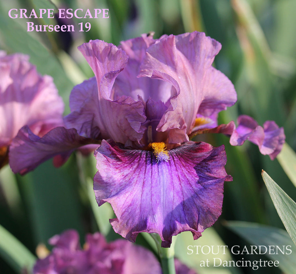 Iris Grape Escape