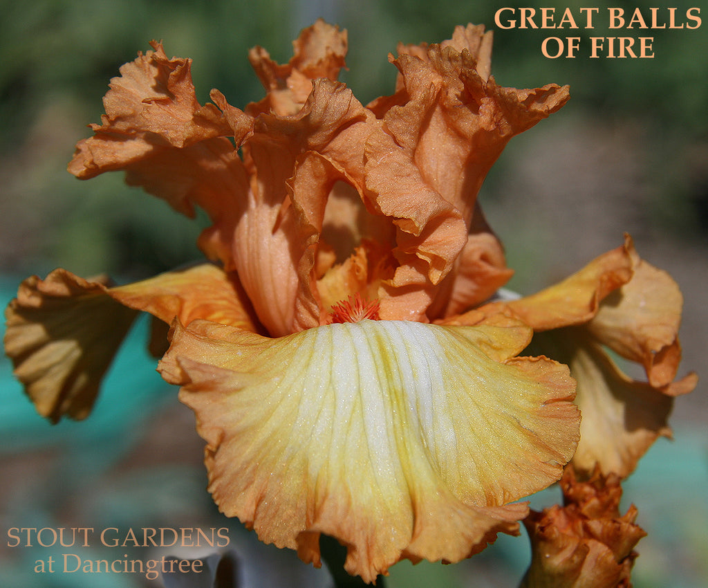 Iris GREAT BALLS OF FIRE