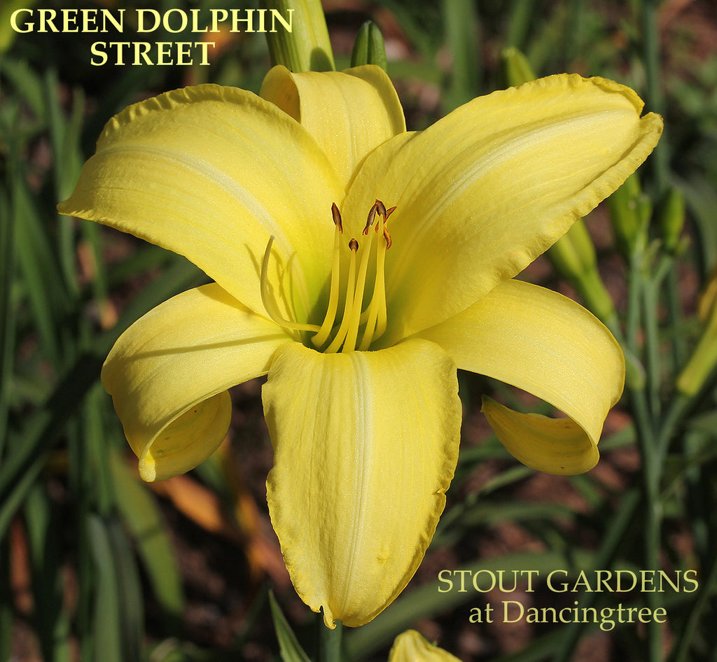 Daylily Green Dolphin Street