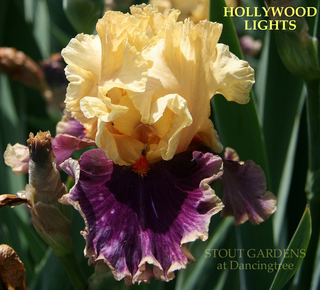 Iris Hollywood Lights
