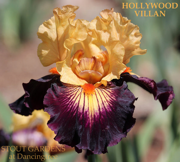 Iris Hollywood Villain