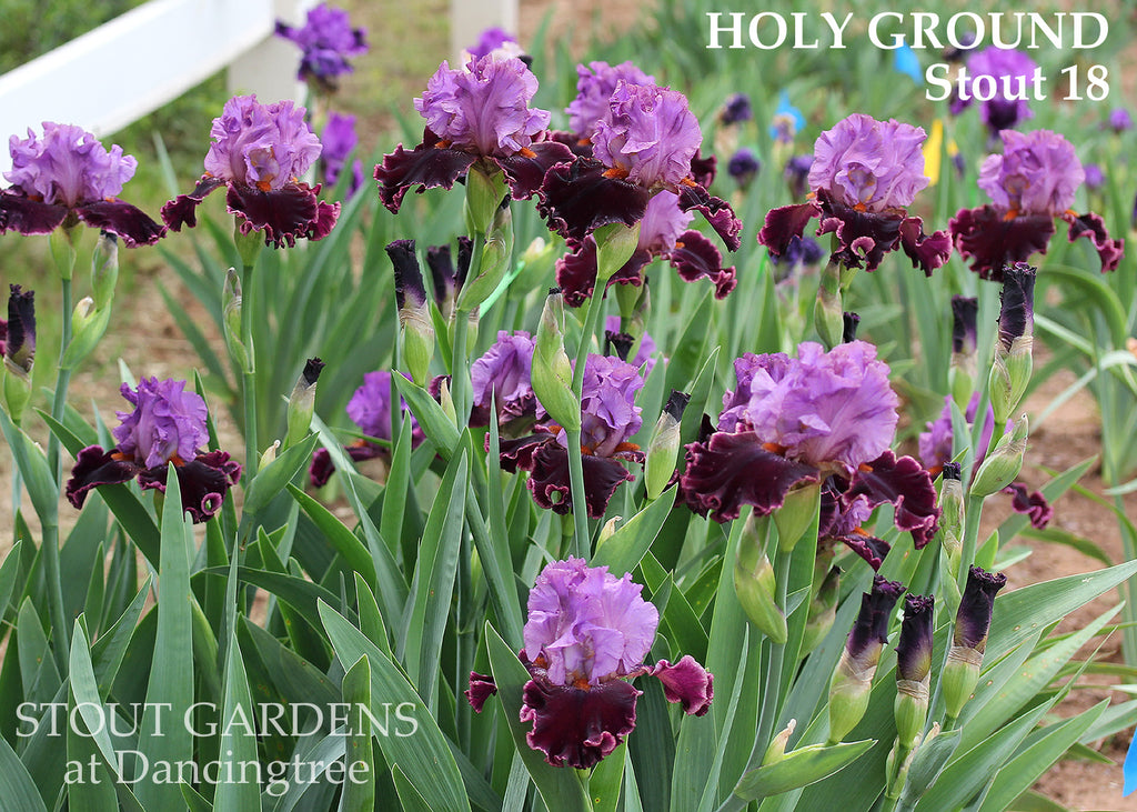 Iris Holy Ground