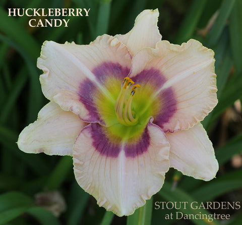 Daylily Huckleberry Candy