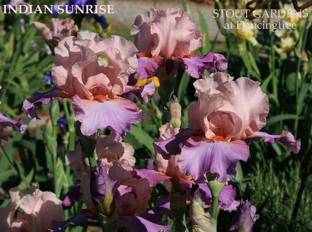 Iris INDIAN SUNRISE