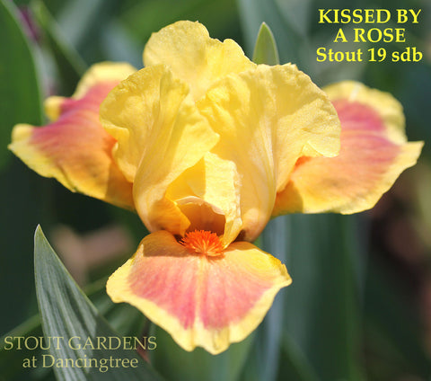 Iris Kissed By A Rose
