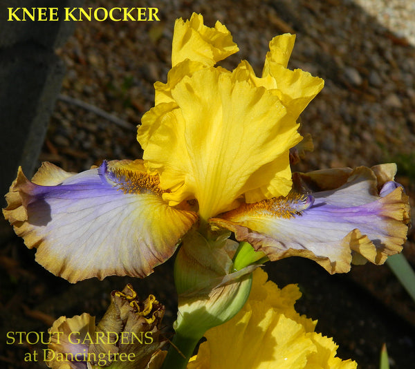 Iris Knee Knocker
