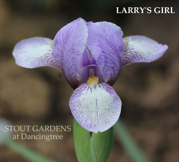 Iris Larry's Girl