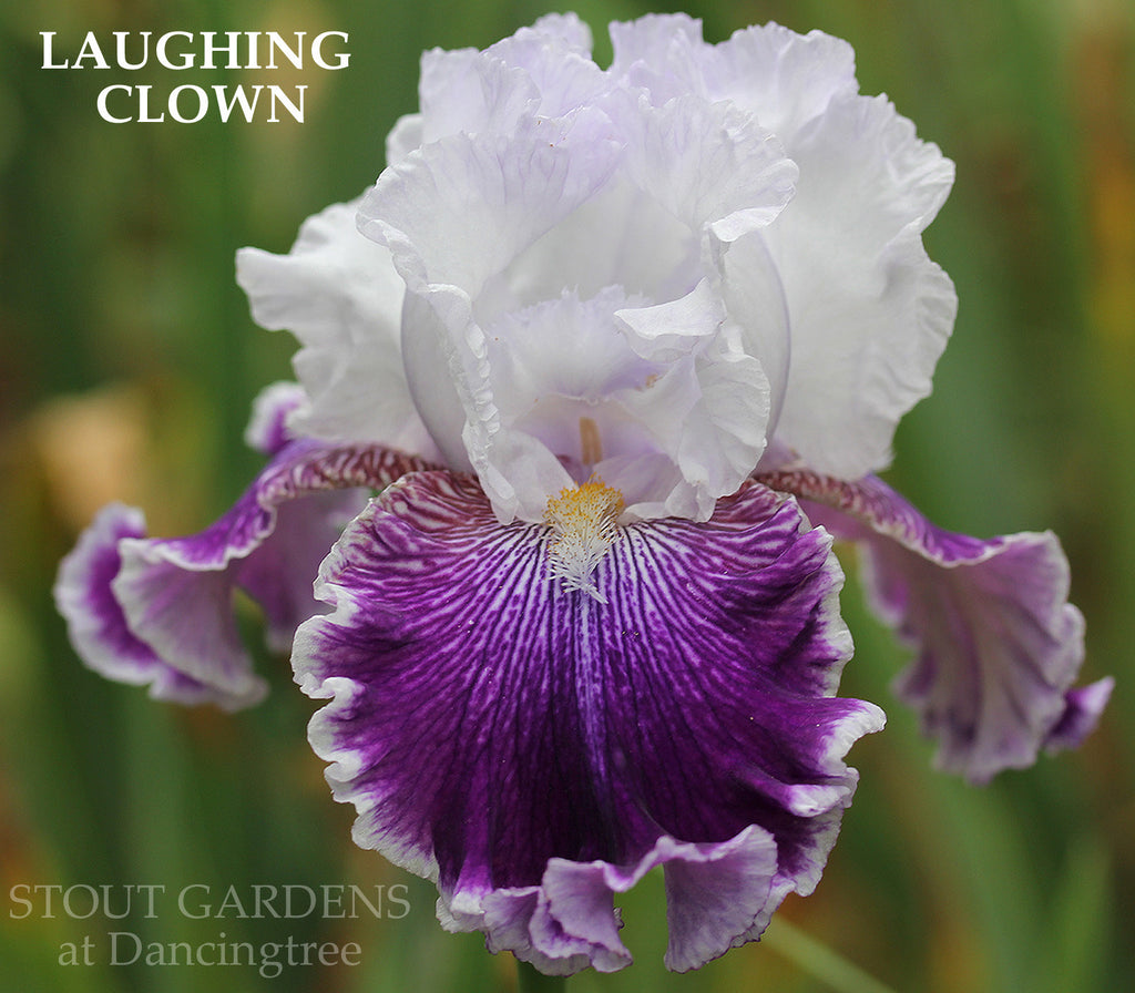 Iris LAUGHING CLOWN