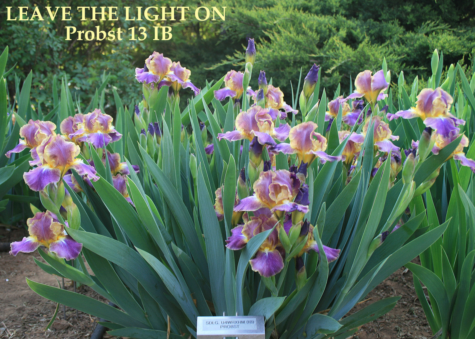 Iris leave the light on stout gardens at dancingtree iris leave the light on izmirmasajfo