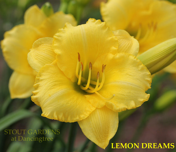 Daylily LEMON DREAMS