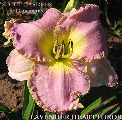 Daylily LAVENDER HEARTTHROB