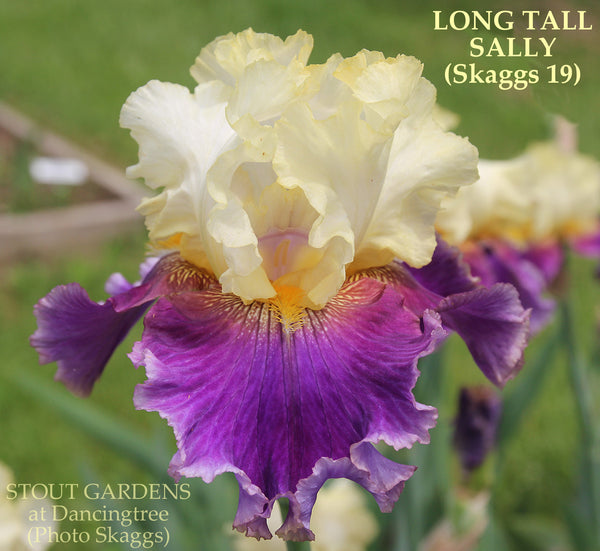 Iris Long Tall Sally