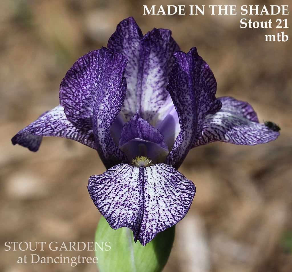 Iris Made In The Shade