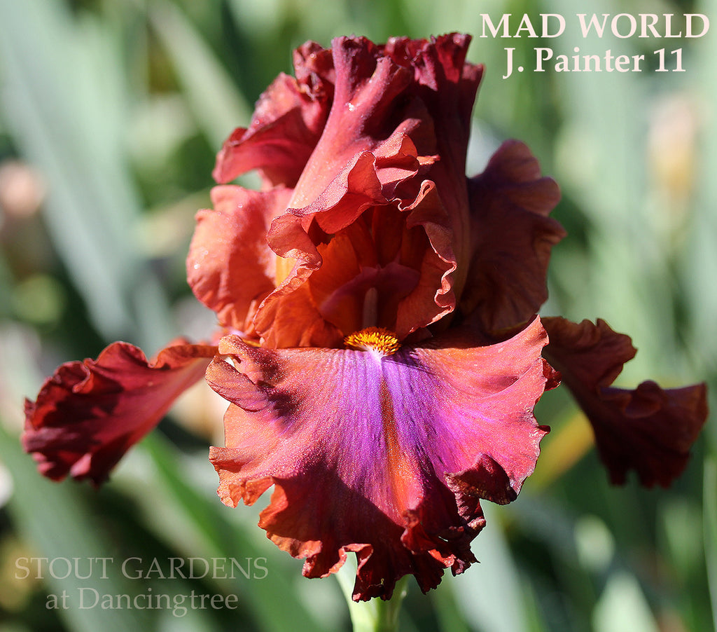 Iris Mad World