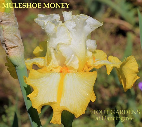 Iris Muleshoe Money