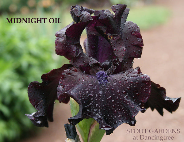 Iris Midnight Oil