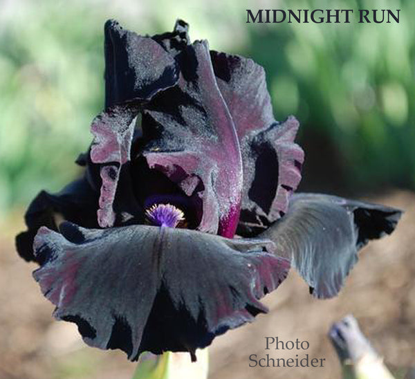 Iris Midnight Run