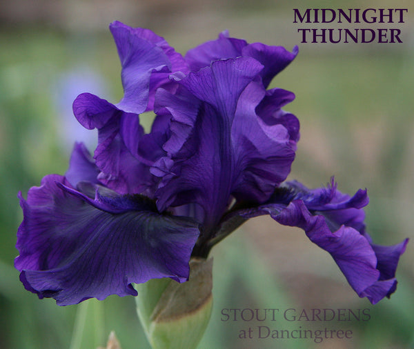 Iris MIDNIGHT THUNDER