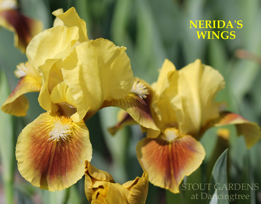 Iris Nerida's Wings