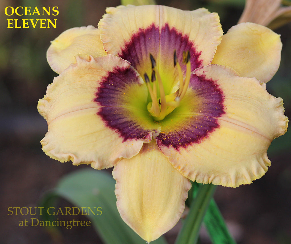 Daylily OCEANS ELEVEN