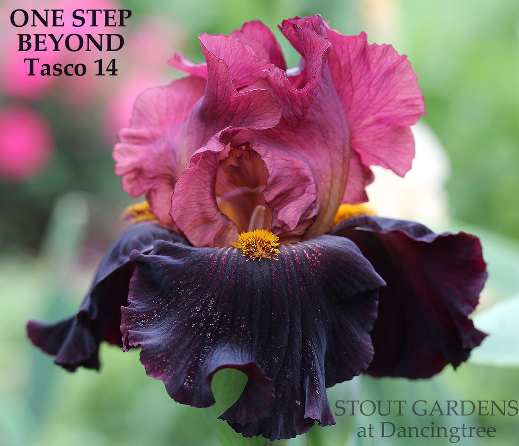 Iris ONE STEP BEYOND