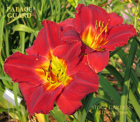 Daylily Palace Guard