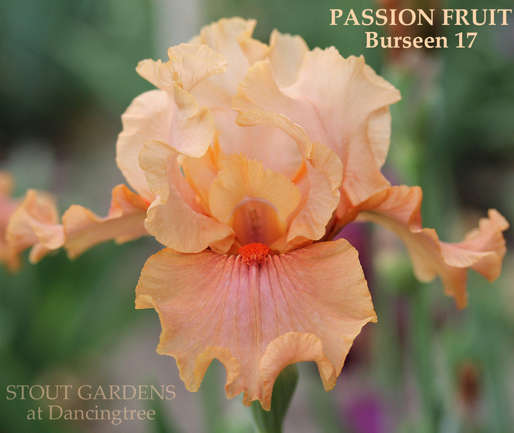 Iris Passion Fruit