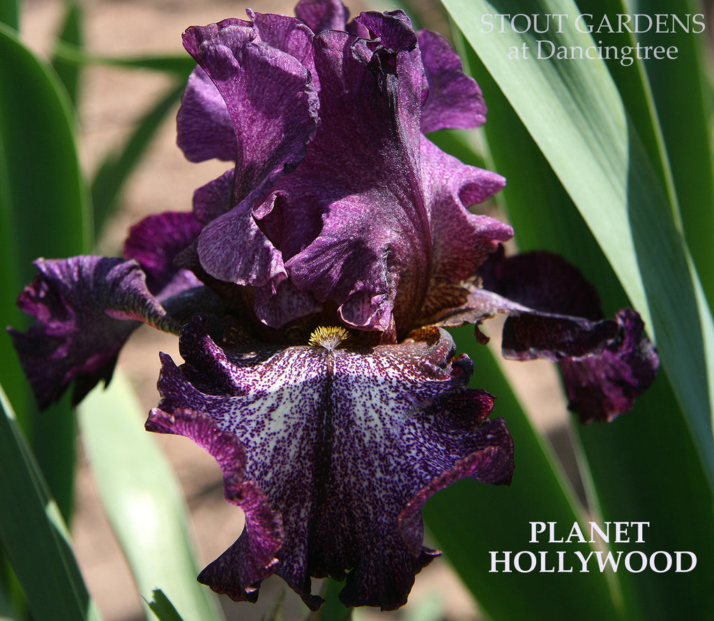 Iris Planet Hollywood