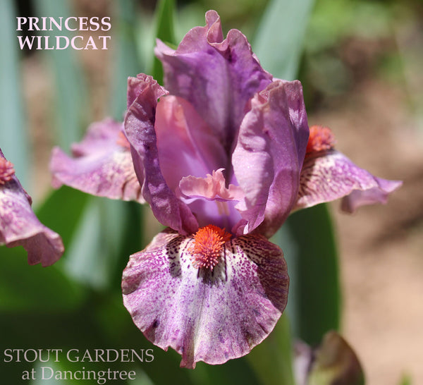 Iris Princess Wildcat