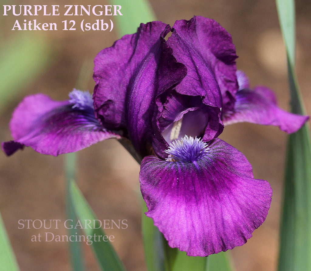 Iris PURPLE ZINGER