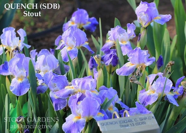 Median Iris Collection