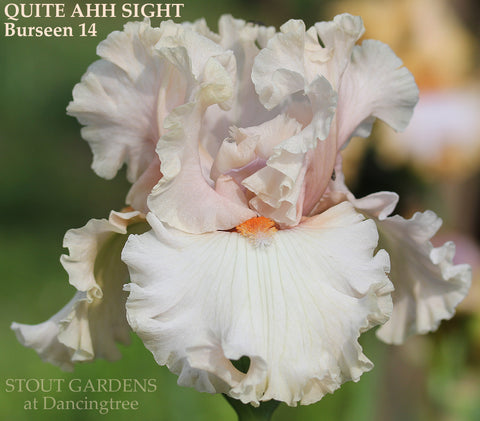 Iris Quite Ahh Sight