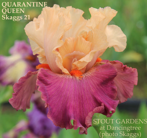 Iris Quarantine Queen