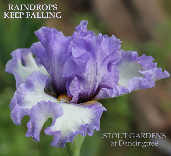 Iris Raindrops Keep Falling