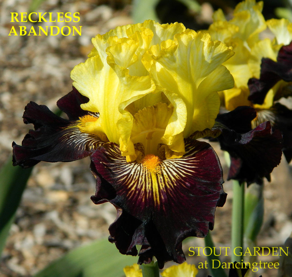 Iris Reckless Abandon