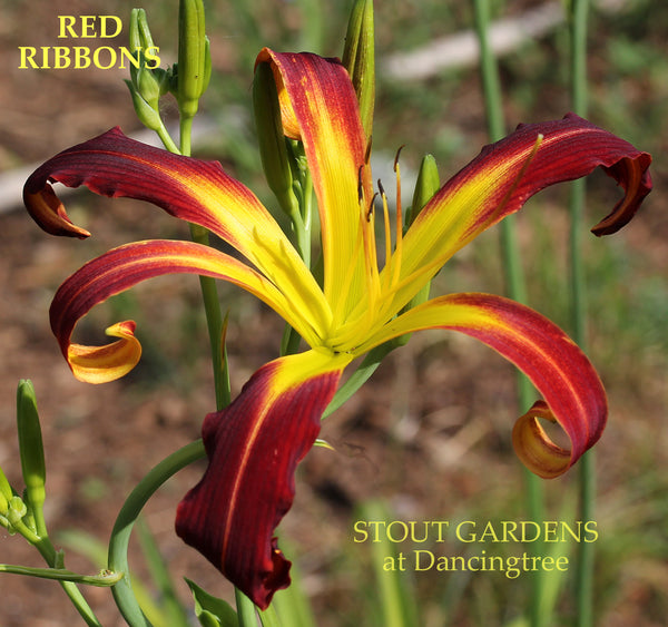 Daylily Red Ribbons