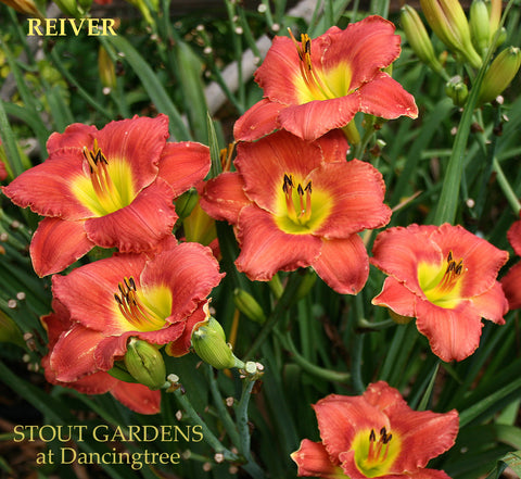 Daylily Reiver