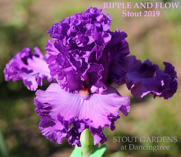 Iris RIPPLE AND FLOW