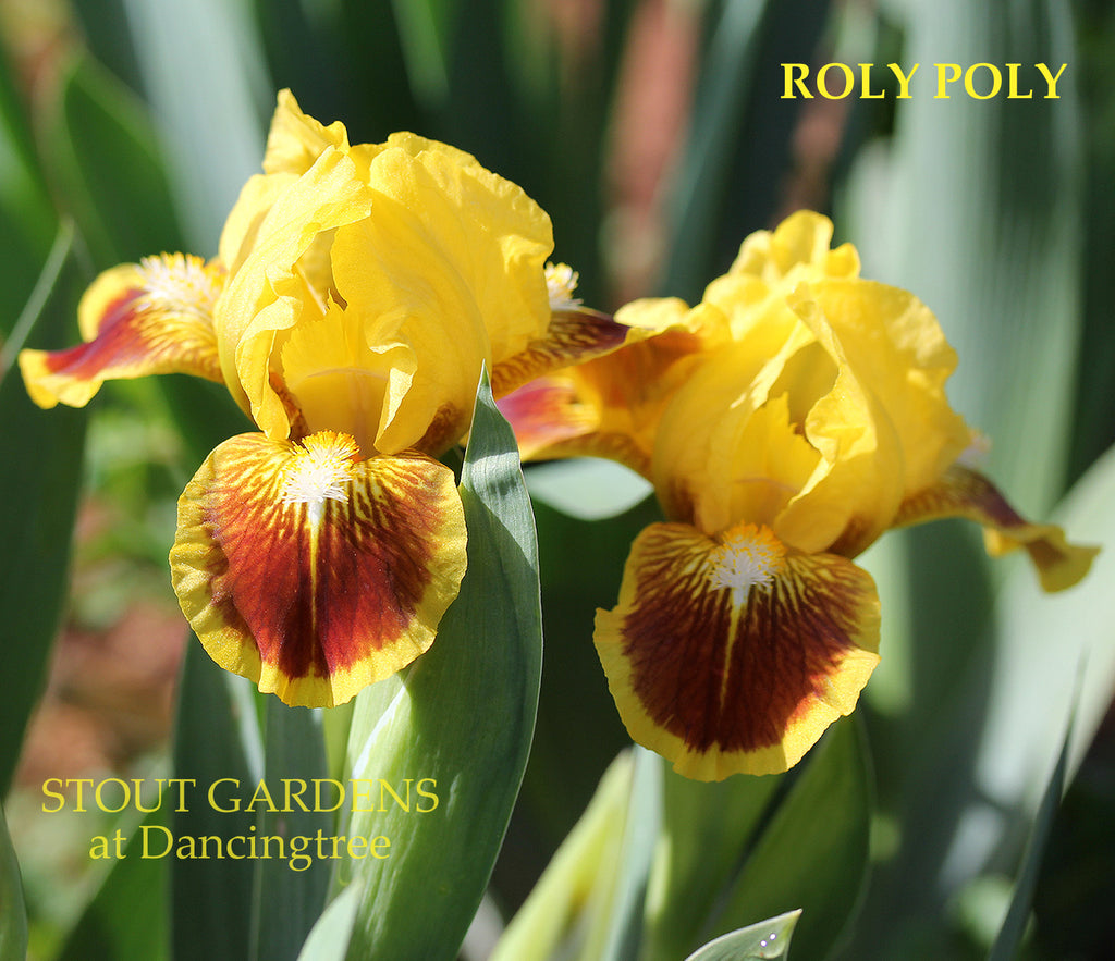 Iris Roly Poly
