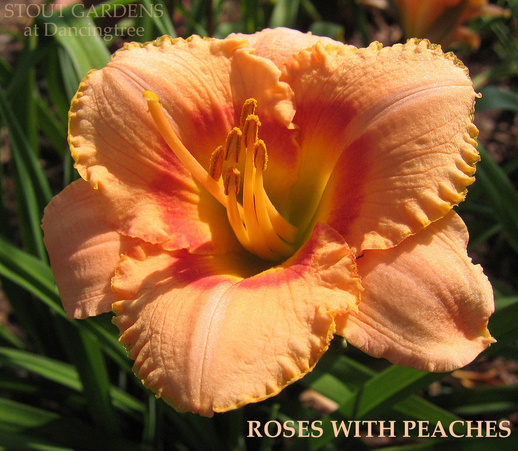 Daylily ROSES WITH PEACHES