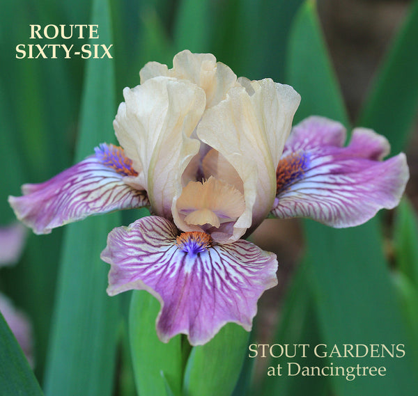 Iris Route Sixty-Six