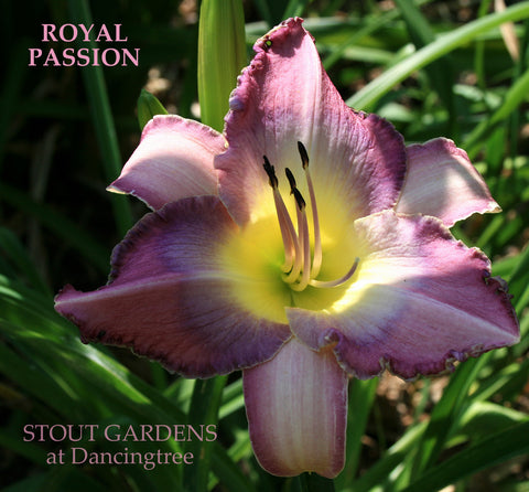 Daylily Royal Passion